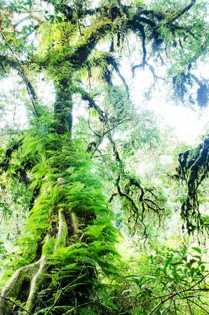 ecosistema: bosque de niebla o bosque cubierto de musgo en Inthanon Parque Nacional, Chiang Mai, Tailandia Foto de archivo