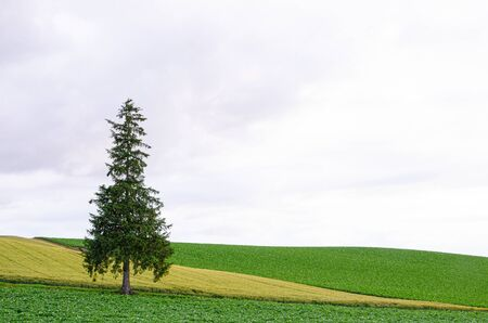 Lonely Chrismas tree in barley field in Biei , Hokkaido Stock Photo