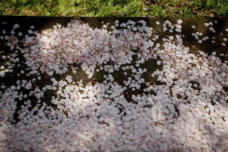 image of falling Cherry Blossom Leaves on the floor Stock Photo - 10761322