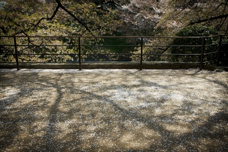 Falling Cherry Blossom in a path way of Tokyo,Japan Stock Photo - 10761370