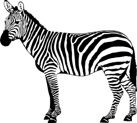 vector illustration of drawing zebra.