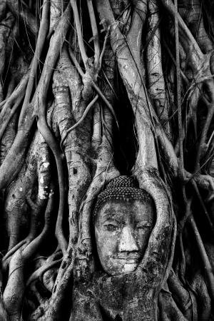 grosse tete: Un grand bouddha de la t�te dans la racine Banque d'images