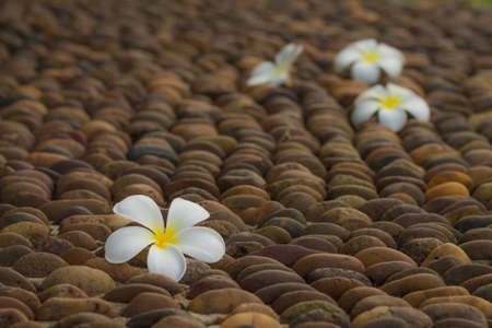 frangipani flowers on gravel photo