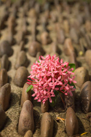 pink ixora bloom on gravel path photo