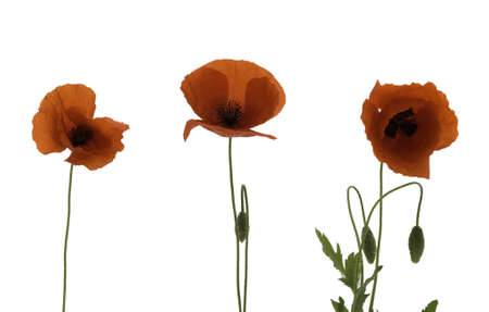 poppies isolated photo