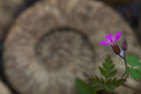 flower in front of fossil spiral  photo
