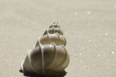 wentletrap sea shell  , Epitonium scalare photo