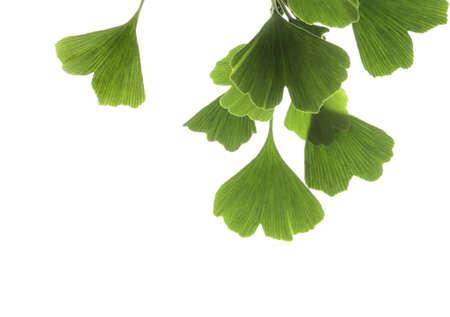 gingko leaves Stock Photo - 15048897