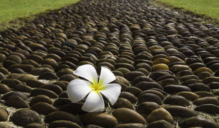 frangipani flower on gravel path photo