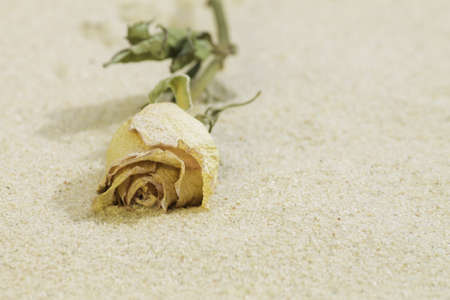 dried rose on  sand photo