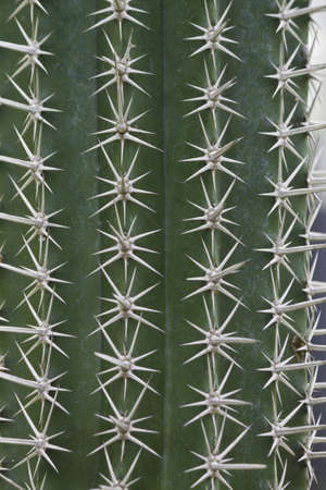 closeup from cactus thorn Stock Photo - 15976095