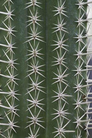 closeup from cactus thorn Stock Photo - 15976095