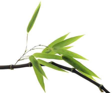 Black Bamboo leaves and stalk photo