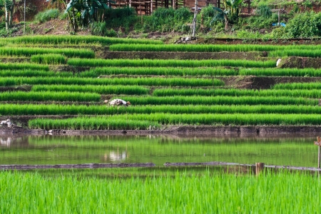 Terraced rice fields in northern Thailand photo