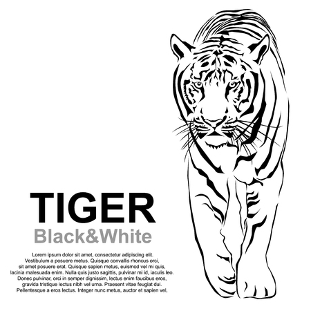 The Tigers are looking forward prey. Vector illustrator EPS 10 Illustration