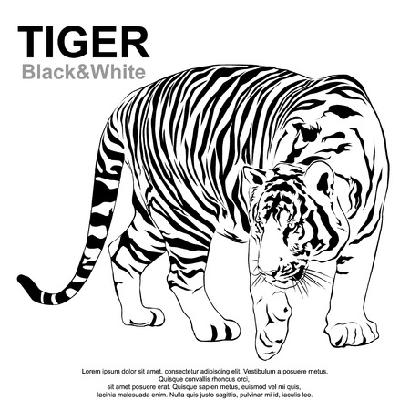 bengal: The Tigers are looking forward prey. Vector illustrator EPS 10 Illustration