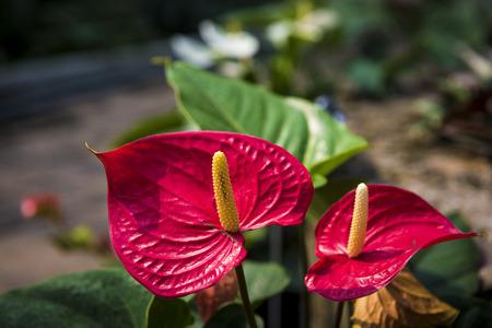 spadix: Beautiful spadix or flamingo flower
