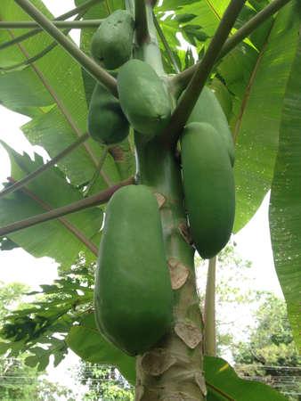 papaw: green papayas on plant Stock Photo