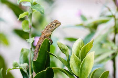 crested gecko: little chameleon on green leaf