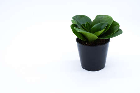 plant hand: Peperomia isolated on a white background Stock Photo