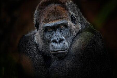 Retrato de gorila Foto de archivo
