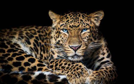 North China leopard Panthera pardus japonensis black backround Zoo Zdjęcie Seryjne