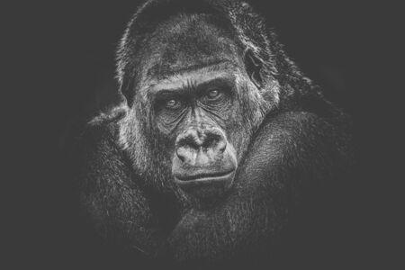 gorilla dangerous look dark background. Foto de archivo