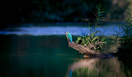 Beautiful nature scene with Common kingfisher Alcedo atthis. Wildlife shot of Common kingfisher on the branch. Common kingfisher in the nature habitat. In the light, sit over water river.