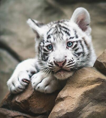 Witte tijger die naast elkaar rust. Witte tijger of gebleekte tijger is een pigmentatievariant van de Bengaalse tijger, jonge dieren, zwart en wit, Zoo Liberec.