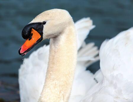 portrait of white swans elengant look. 스톡 콘텐츠