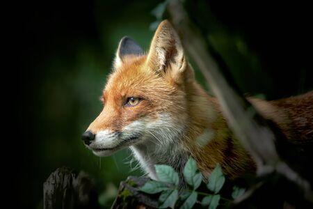 Zbliżenie na czerwony i biały lis, widok z boku, szczegół głowy lisa na polowanie.