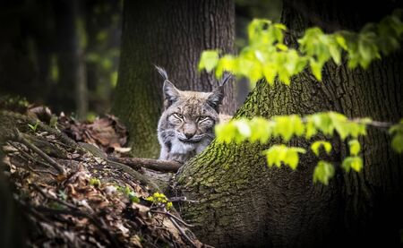 Lynx looks with predatory eyes from the shelter, Hiding in the woods behind a tree while walking, lying and watching.