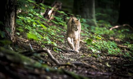 Lynx looks with predatory eyes from the shelter, hidden in the forest while walking, hunting on the way through the forest. 스톡 콘텐츠