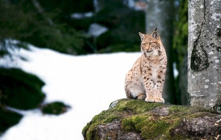 Lynx looks with predatory eyes from the shelter, Hiding in the woods behind a tree while walking, lying and watching, sitting on a rock and watching. Foto de archivo