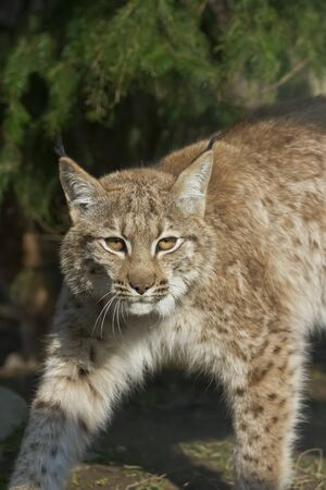 Lynx looks with predatory eyes from the shelter, hidden in the forest while walking