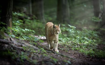 Lynx looks with predatory eyes from the shelter, hidden in the forest while walking, hunting on the way through the forest.