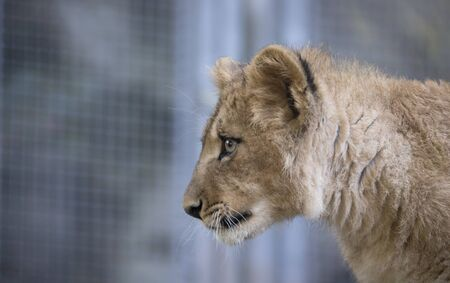 The young lion of Berber look majestic