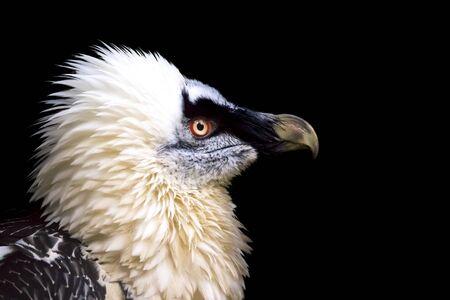 Bearded Vulture, Gypaetus barbatus, detail portrait of rare mountain bird in rocky habitat. Close-up portrait of beautiful mountain bird. Dark background.