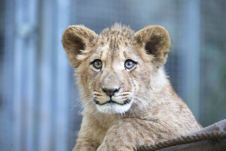 The young lion of Berber look majestic dark background., the best photo. Stock fotó