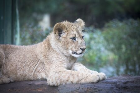 The young lion of Berber look majestic dark background., the best photo.
