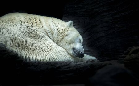 Polar white bear sleeping on snow rock. Sleeping polar bear in white winter zoo. Portrait of peaceful sleepy polar white bear Ursus Maritimus curled up in snow. Animal hibernate on stone background.