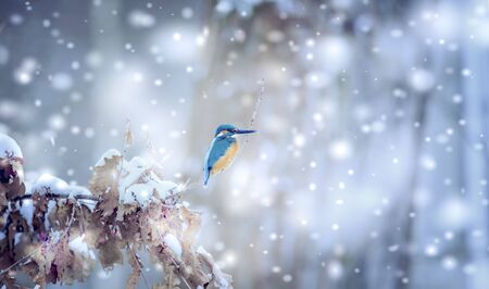 Beautiful nature scene with Common kingfisher Alcedo atthis. Wildlife shot of kingfisher on the branch. Kingfisher in the nature habitat. In the light, winter bird snowing snowflakes. Christmas.