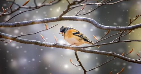 The Brambling Fringilla montifringilla, sitting on a tree twig, the best photo
