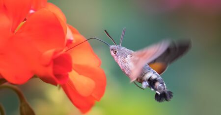 An hummingbird hawk-moth Macroglossum stellatarum feeding nectar from woolly thistle flower., the best photo.