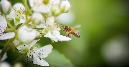 Honey bee covered with white colored pollen, drink nectar from white colored flowers and pollinating them, the best photo