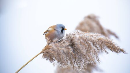 Beautiful nature scene with Bearded Parrotbill Panurus biarmicus. Wildlife shot of Bearded Parrotbill Panurus biarmicus on the grass, winter, sitting on a blade of grass. The best photo.