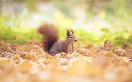 Squirrel sitting in the autumn park sunshine autumn colors on the tree and sitting on the ground in leaves, around is beautiful colorful autumn leaves illuminated by sun rays, the best photo