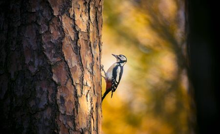 Great spotted woodpecker male perched on tree looking for food in golden autumn. Cute common park bird in wildlife. The best photo.