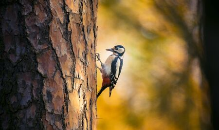 Great spotted woodpecker male perched on tree looking for food in golden autumn. Cute common park bird in wildlife. The best photo. Banque d'images