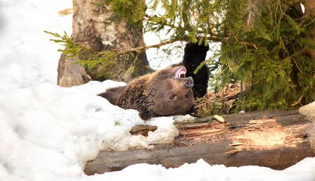 Wild Brown bear in the snow. Winter forest. Scientific name: Ursus arctos. Natural habitat. Winter season. The bear is lying in the snow and sharpening his claws